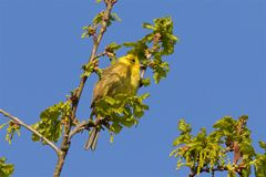 A Yellowhammer singing in the early morning sunshine. Stock Image