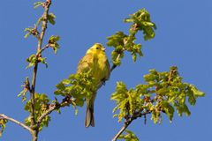 A Yellowhammer singing in the early morning sunshine. Royalty Free Stock Images