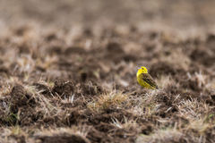 Yellowhammer & x28;Emberiza citrinella& x29; singing in field. Male songbird in the bunting family & x28;Emberizidae& x29;, with bright yellow head and breast stock images