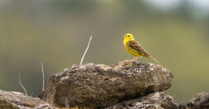 Yellowhammer & x28;Emberiza citrinella& x29; singing on wall. Male songbird in the bunting family & x28;Emberizidae& x29;, with bright yellow head and breast royalty free stock image