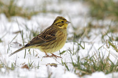 Yellowhammer, Emberiza citrinella Stock Image
