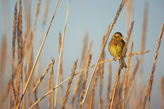 Yellowhammer, Emberiza citrinella Stock Images