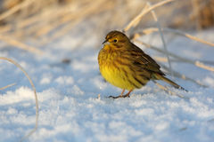 Yellowhammer, Emberiza citrinella Stock Photography