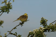 Yellowhammer, Emberiza citrinella Royalty Free Stock Images