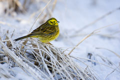Yellowhammer, Emberiza citrinella Royalty Free Stock Photography