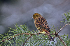 The yellowhammer, Emberiza citrinella Stock Photography