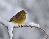 The yellowhammer, Emberiza citrinella Stock Photos
