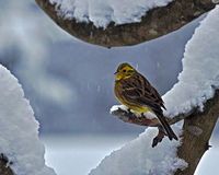 The yellowhammer, Emberiza citrinella Royalty Free Stock Images