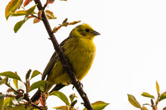 Yellowhammer Royalty Free Stock Photography