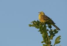 Yellowhammer (Emberizacitrinella) sjunga arkivfoton