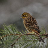 Yellowhammer female in winter. A yellowhammer female on a wintry branch in central Sweden Stock Photography