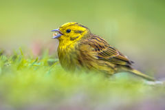 Yellowhammer foraging in grassy backyard Stock Images