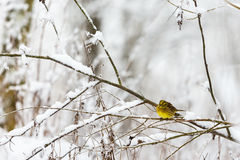 Yellowhammer in the forest Stock Photos