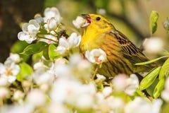 Yellowhammer Gesang von weißen Blumen des Frühlinges Stockfoto
