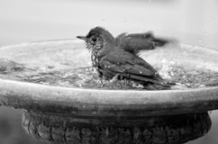 Yellowhammer having a bird shower in birdbath. Yellowhammer having a bird shower in home garden birdbath. (BW Royalty Free Stock Photo