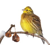 Yellowhammer isolated on white Royalty Free Stock Images