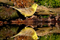 Yellowhammer Stock Photo