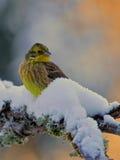 Yellowhammer man i vinter Arkivbilder