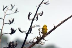 Yellowhammer masculino senta-se em um ramo da planta do linho Fotografia de Stock Royalty Free