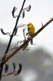 Yellowhammer masculino senta-se em um ramo da planta do linho Imagens de Stock
