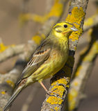 Yellowhammer na gałąź Obrazy Royalty Free