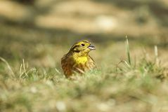Yellowhammer na grama Foto de Stock Royalty Free