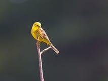 Yellowhammer na luz solar Fotos de Stock Royalty Free