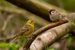 Yellowhammer och eurasianträdsparv Arkivfoton