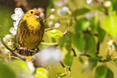Yellowhammer Of Spring Pear Blossom Sings The Song Stock Images