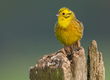 Yellowhammer on a pole Stock Images