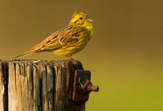 Yellowhammer on a pole Royalty Free Stock Images