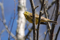 Yellowhammer-Porträt Stockfotos