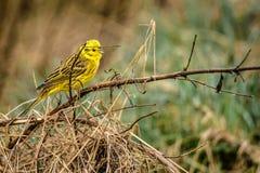 Yellowhammer que se sienta en una rama en naturaleza Foto de archivo libre de regalías