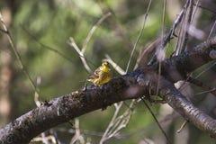 Yellowhammer que se sienta en una ramificación de árbol Imágenes de archivo libres de regalías