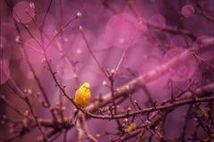 Yellowhammer siiting en una rama en un inviroment púrpura Fotos de archivo