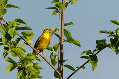 Yellowhammer singing Royalty Free Stock Image