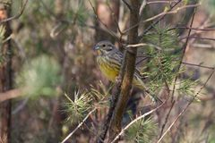 Yellowhammer sits on branch on the Kemper heide Royalty Free Stock Photos