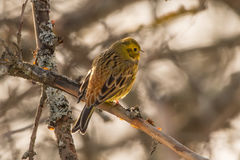 Yellowhammer sitting on an apple tree. Yellowhammer, Emberiza citrinella, beautiful yellow bird Royalty Free Stock Photography