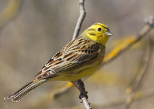 Yellowhammer. Sitting on the branch Royalty Free Stock Photos