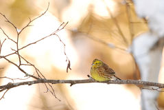 Yellowhammer in gold. Yellowhammer sitting on a branch in a golden light Stock Photos
