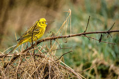 Yellowhammer sitting on a branch in nature. High resolution photo in best quality Royalty Free Stock Photo