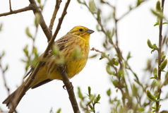 Yellowhammer on branch. Yellowhammer sitting on spring branch Royalty Free Stock Photos