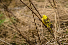 Yellowhammer sitting on a straw on a field. High resolution photo in best quality Stock Photography