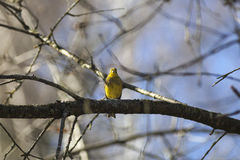 Yellowhammer sitting on a tree branch Royalty Free Stock Images