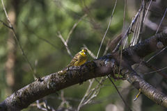 Yellowhammer sitting on a tree Stock Image