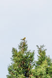 Yellowhammer sitting in a tree Stock Photo