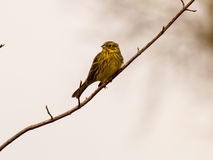 Yellowhammer. Sitting on a twig tree Royalty Free Stock Photos