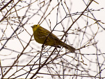 Yellowhammer. Sitting on a twig tree Royalty Free Stock Image