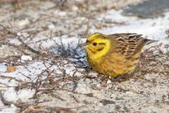 Little bird  yellowhammer on snow close up. Ukraine Stock Photo