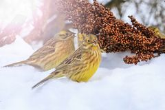 Yellowhammer of snow looking for food to survive with sunny hotspot. Wildlife, winter survival, cold and frost Royalty Free Stock Photos